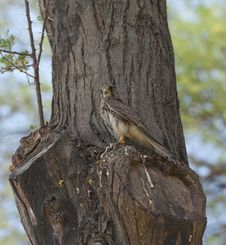 Free Common Kestrel Perched In A Tree Royalty Free Stock Photo - 21268215