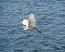 Free Little Egret In Flight Stock Image - 21268401