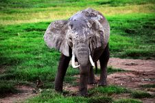 Free Elephant From Africa Royalty Free Stock Image - 21268856