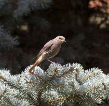 Black Redstart (Phoenicurus Ochruros) Stock Photos