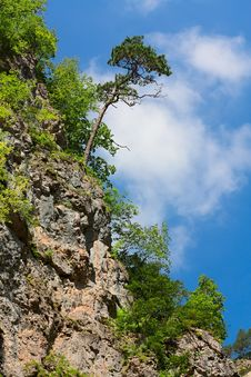 Free Lonely Pine. Stock Image - 21269451