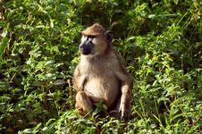 Free Monkey From Africa Stock Photos - 21269453