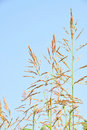 Free Reeds In Summer Stock Images - 21273514