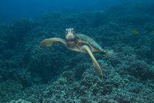 Hawaiian Green Sea Turtle Royalty Free Stock Images