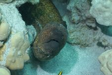 Free Yellow Margin Moray Eel Stock Photos - 21270393
