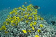 Free Yellow Tang School Stock Photo - 21270400
