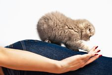 Fluffy Kitten On A Woman S Thigh Stock Photography