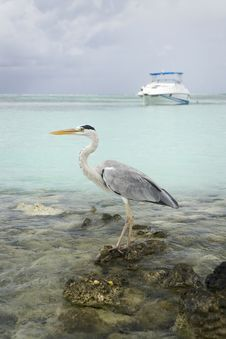Free Portrait Maldivian Gray Heron Stock Photos - 21272503