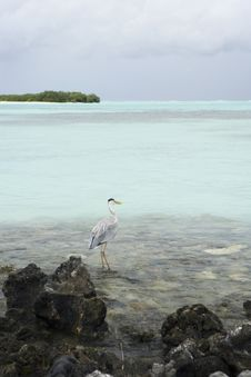 Portrait Maldivian Gray Heron Royalty Free Stock Images