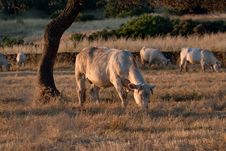 Free Cows Grazing Royalty Free Stock Images - 21272859