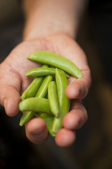 Free Hand With Pea Pods Stock Images - 21272924