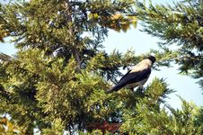 Free Pine Tree And Crow Stock Photo - 21273140