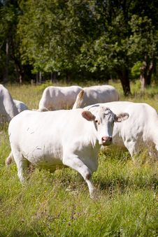 Free White Cow Stock Image - 21273171