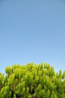 Free Pine Tree Stock Photos - 21273173