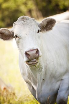 Free White Cow Stock Photos - 21273183