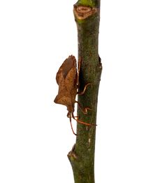 Free Bug On A Twig Royalty Free Stock Photos - 21273188