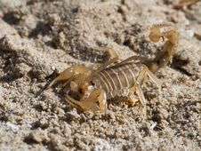 Free Scorpion Royalty Free Stock Photography - 21273337