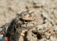 Free Portrait Of Toadhead Agama Royalty Free Stock Photo - 21273405