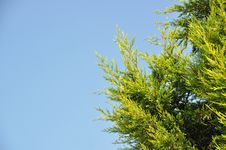 Free Pine Tree Stock Images - 21273484