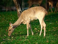 Free Grazing Deer Royalty Free Stock Photography - 21275247