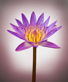 Free Beautiful Purple Lotus Stock Images - 21278104