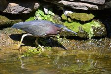 Free Green Heron Royalty Free Stock Photography - 21278757