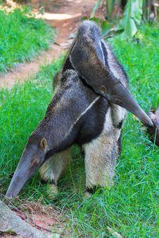 Ant Bear(anteater) Family Royalty Free Stock Photos