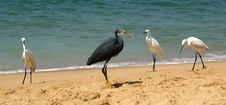 Free Herons On A Sandy Beach Near The Ocean Stock Photos - 21279553