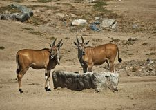 Free Young Eland Royalty Free Stock Photography - 21279687