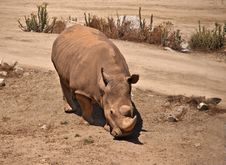 Free White Rhinoceros Stock Photo - 21279710