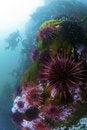 Free Sea Urchins Stock Photo - 21282070