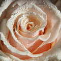 Free Rose In Dew Drops. Royalty Free Stock Photos - 21282378