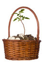Free Coins And Plant In A Basket Royalty Free Stock Photos - 21284008