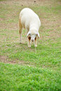 Free Sheep Is During Eat Grass Royalty Free Stock Photo - 21288525