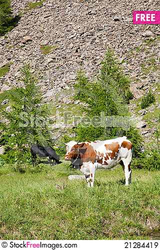 Free Cows And Italian Alps Royalty Free Stock Images - 21284419