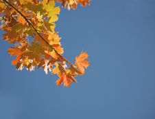 Free Autumnal Maple Leaves Stock Photo - 21280180