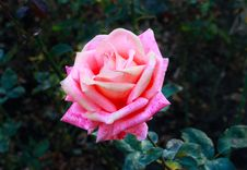 Free Flower A Rose Royalty Free Stock Photos - 21280508