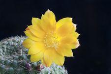 Free Cactus Rebutia Royalty Free Stock Photos - 21280538