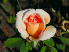 Free Roses Stock Photography - 21280692