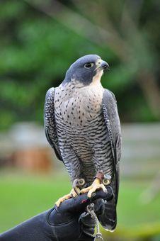 Free Hawk Stock Photo - 21280860