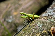 Free Praying Mantis In Natural Environment Royalty Free Stock Photos - 21281098