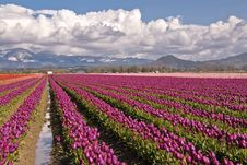 Free Magenta Tulip Field Royalty Free Stock Photography - 21281137
