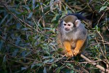 Free Common Squirrel Monkey Royalty Free Stock Photo - 21283175