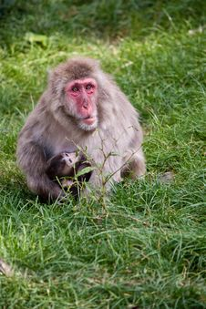 Free Japanese Macaque Stock Images - 21283204