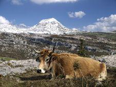 Free Cow Mountain Royalty Free Stock Photo - 21283705