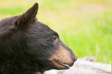 Free Side View Of Black Bear Stock Images - 21284204