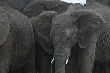 Free All Elephants Royalty Free Stock Photo - 21285145