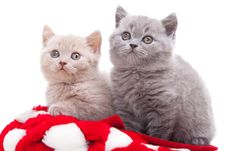 Two British Kittens In Red And White Hat Stock Photo