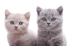 Free Two British Kittens Stock Image - 21286031