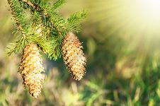 Free Fir Cones In Sunlight Stock Photo - 21287830
